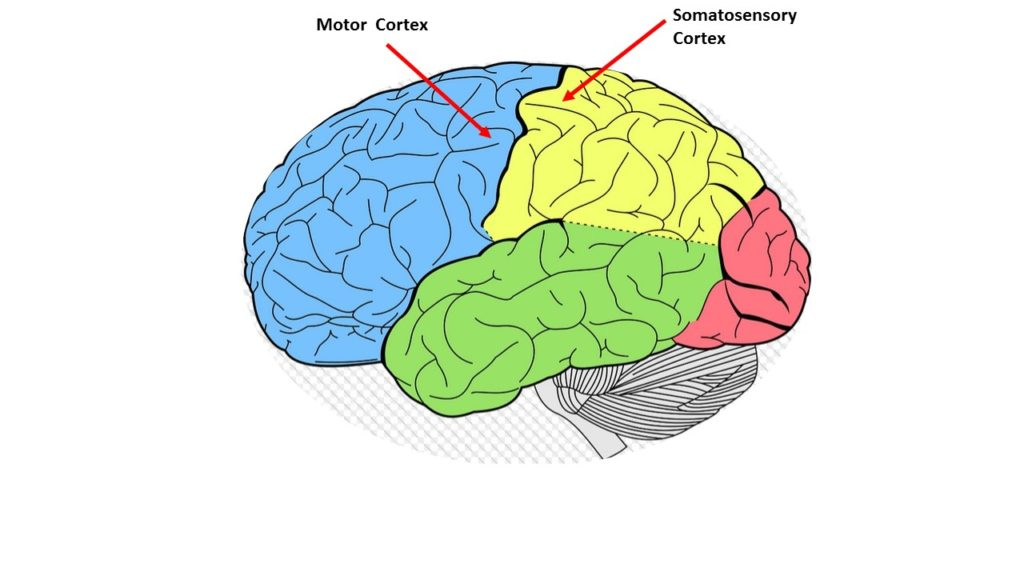 Brain diagram showing the motor and somato-sensory cortex