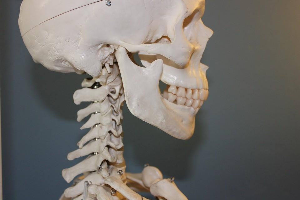 Esqueleto mostrando el craneo y las vertebras cervicales.